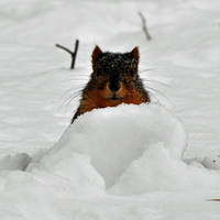 Tunneling squirrel by masscreation