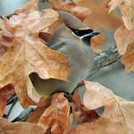 Waxwing and oak leaves by masscreation