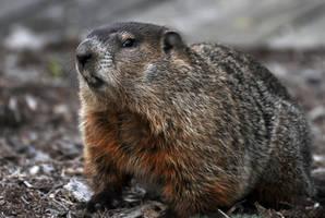 Groundhog by masscreation