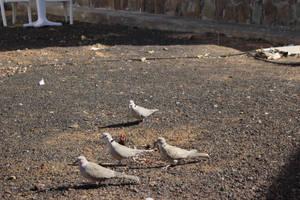 Pidgeons by jomy10