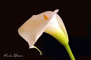 White Calla Lily by Mark-Allison