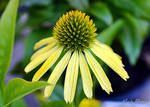 Echinacea by Mark-Allison