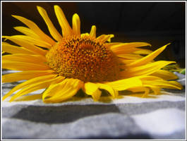 sunflower... by toto-toto