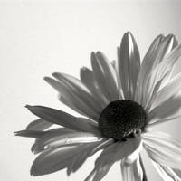 BW Flower I by JPattonPhotography