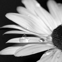 BW Flower II by JPattonPhotography