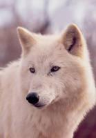 white wolf by CallistoTheWolf