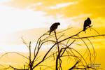 Harris Hawk Sunrise by CasualGoshawk