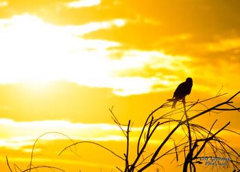 Harris Hawk Sunrise 3 by CasualGoshawk