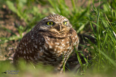 Burrowing Owl 5 by CasualGoshawk