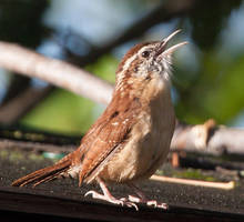 Carolina Wren by Pharmagician