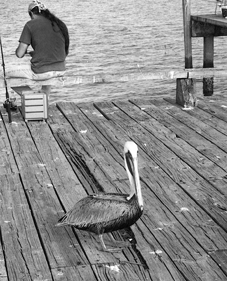 Cedar Key Pelican by anteaterjeter