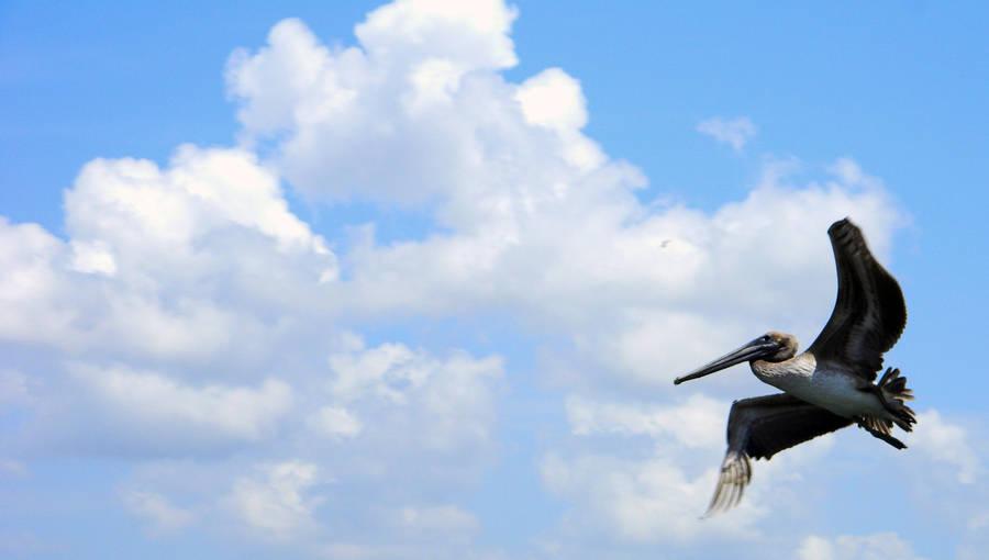 Skyway Pelican Flight by anteaterjeter