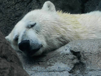 Sleepy polar bear by Tsuki-x-666