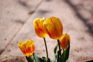 tulip3 by Pendragon-007