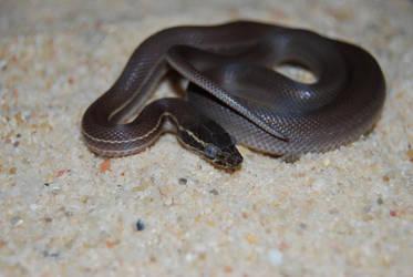 Boaedon lineatus aka Striped house snake by antonioshadow
