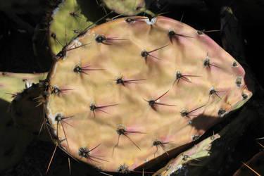 Prickly Pear Pad in Decline by kradtke