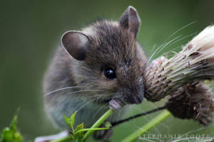 Wild Mouse by StephiPhotography