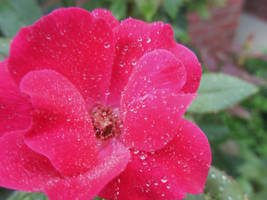 Mist on a Rose by tacomintrico