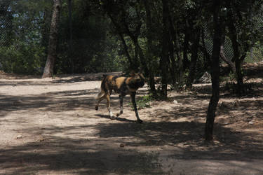 African wild dog - 2 by FallenSeraphin