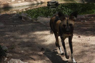 African wild dog - 3 by FallenSeraphin