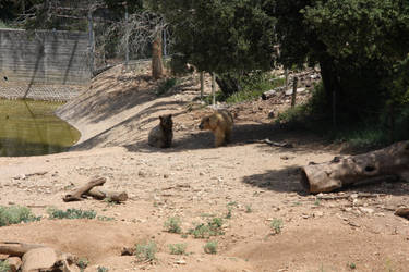 Syrian bears - 1 by FallenSeraphin