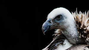 vulture by PhotographyChris