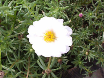 A white star by sailortina
