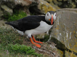 A puffin by Bianso