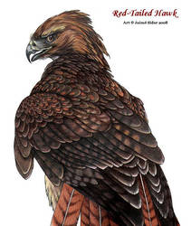 Red Tailed Hawk by Emryswolf