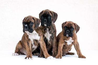 Boxer puppies by Zirael91