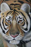 Tigre by shizuka10