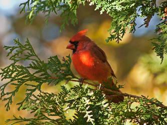 Cardinal in Cedar Wallpaper by MichelLalonde