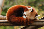 Red Panda... by Breizhbleiz