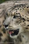 Snow Panther by Breizhbleiz