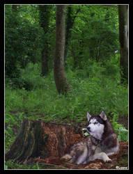 Husky by Breizhbleiz