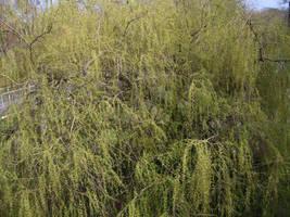 Sturgess Fields Willow Tree by Isavarg