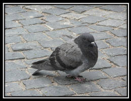 Pigeon by Kruczkowska