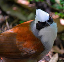 Masked - White-crowned Laughing Thrush by AzureWindProductions