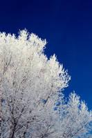 snow tree by mbennion76