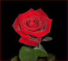 Rose... by Elass