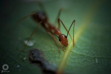 Macro ant by v3215la