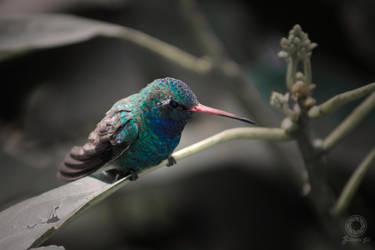 Bluetiful Hummingbird by v3215la