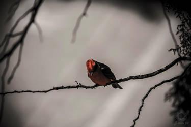 Red Cardinal by v3215la