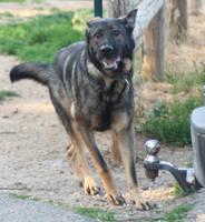 german shepherd dog 5 by jettstock
