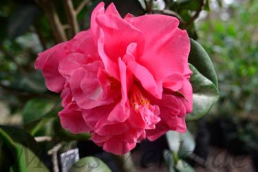 Triple Red w/ Scarce White center stripes Camellia by plantm