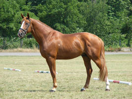 Chestnut Stallion from Hungary by LadyAyslinn