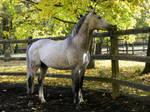 Grey Stallion 2 by LadyAyslinn