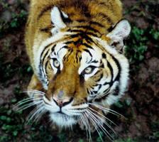 Tiger by Dermoo