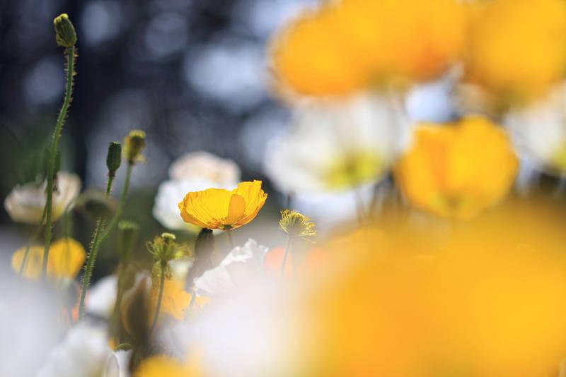 Yellow tale by incredi