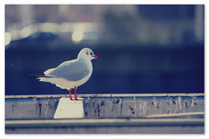 ..::A Clyde-Side Gull::.. by smdesign-photography